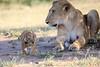 Lion_Cub_And_ Mom_Asilia_2018_Mara__0018