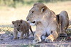 Lion_Cub_And_ Mom_Asilia_2018_Mara__0011