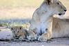 Lion_Cub_And_ Mom_Asilia_2018_Mara__0026