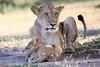 Lion_Cub_And_ Mom_Asilia_2018_Mara__0022
