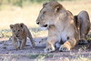 Lion_Cub_And_ Mom_Asilia_2018_Mara__0013