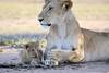 Lion_Cub_And_ Mom_Asilia_2018_Mara__0027