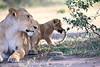Lion_Cub_And_ Mom_Asilia_2018_Mara__0007