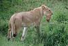 Lion_Cub_Transfer_Asilia_2018_Mara__0002