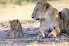 Lion_Cub_And_ Mom_Asilia_2018_Mara__0015