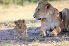 Lion_Cub_And_ Mom_Asilia_2018_Mara__0020