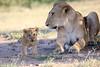 Lion_Cub_And_ Mom_Asilia_2018_Mara__0016