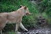 Lion_Cub_Transfer_Asilia_2018_Mara__0003