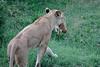 Lion_Cub_Transfer_Asilia_2018_Mara__0008