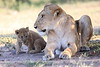 Lion_Cub_And_ Mom_Asilia_2018_Mara__0009