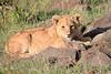 Lion_Mara_2018_Asilia__0008