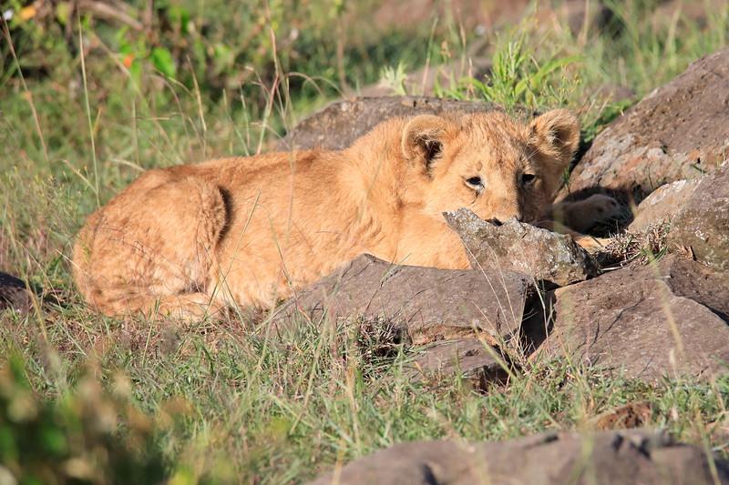Lion_Mara_2018_Asilia__0009