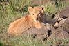 Lion_Mara_2018_Asilia__0005