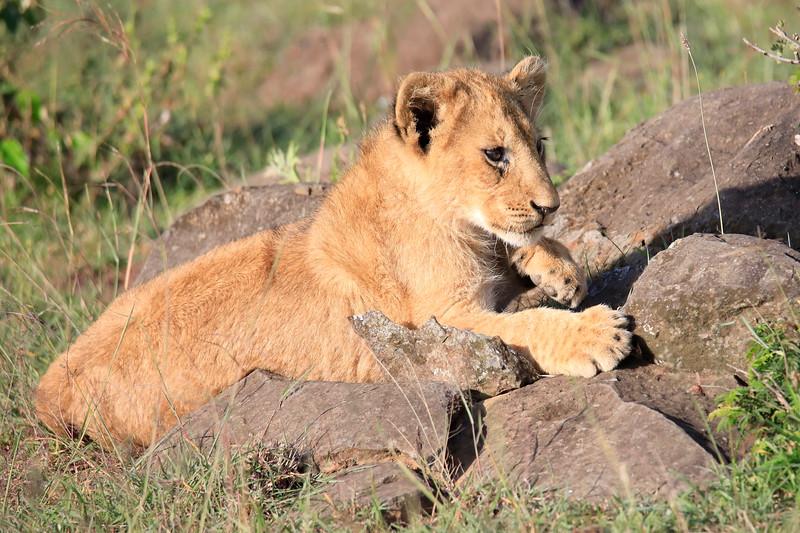 Lion_Mara_2018_Asilia__0004
