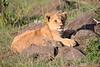 Lion_Mara_2018_Asilia__0001