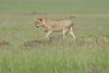 Lion_Mara_2018_Asilia__0045
