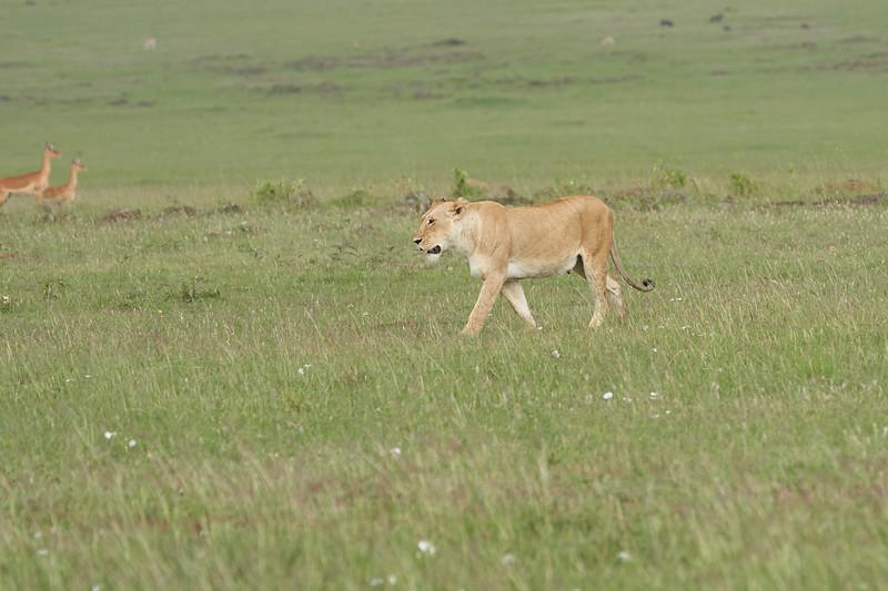 Lion_Mara_2018_Asilia__0040