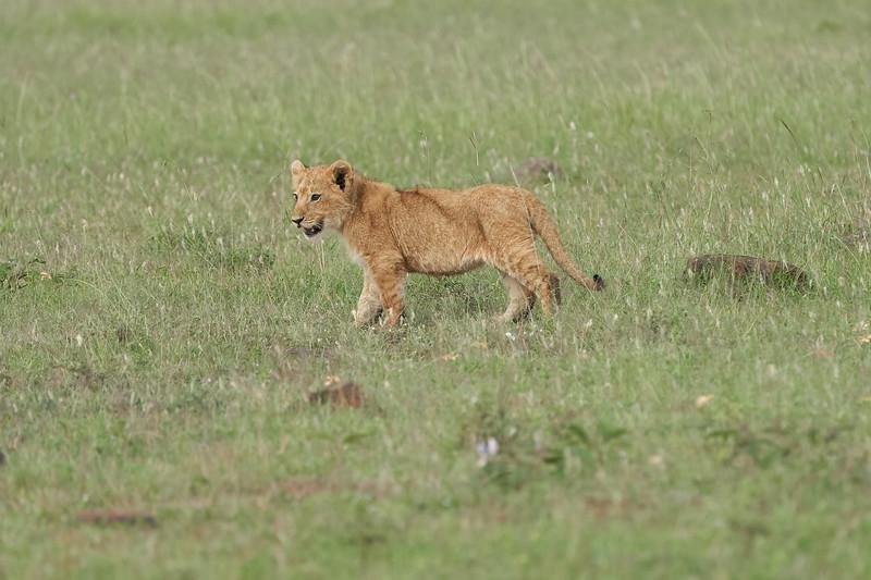 Lion_Mara_2018_Asilia__0041
