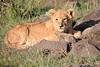 Lion_Mara_2018_Asilia__0007