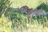 Cheetah_Asilia_2018_Mara__0022