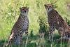 Cheetah_Asilia_2018_Mara__0028