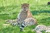 Cheetah_Asilia_2018_Mara__0094
