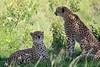 Cheetah_Asilia_2018_Mara__0026