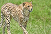 Cheetah_Asilia_2018_Mara__0095