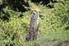 Cheetah_Asilia_2018_Mara__0033