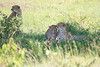 Cheetah_Asilia_2018_Mara__0003