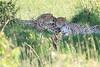 Cheetah_Asilia_2018_Mara__0021
