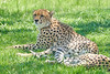 Cheetah_Asilia_2018_Mara__0092