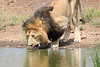 Male_Lion_Drinking_Mara_2018_Asilia__0003