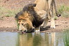 Male_Lion_Drinking_Mara_2018_Asilia__0002