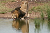 Male_Lion_Drinking_Mara_2018_Asilia__0062