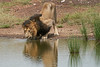 Male_Lion_Drinking_Mara_2018_Asilia__0063