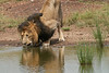 Male_Lion_Drinking_Mara_2018_Asilia__0076