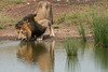 Male_Lion_Drinking_Mara_2018_Asilia__0066