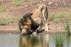 Male_Lion_Drinking_Mara_2018_Asilia__0005