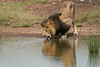 Male_Lion_Drinking_Mara_2018_Asilia__0053