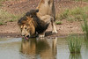 Male_Lion_Drinking_Mara_2018_Asilia__0075