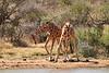 Necking_Reticulated_Giraffe_Loisaba_2018__0010