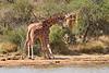 Necking_Reticulated_Giraffe_Loisaba_2018__0025