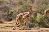 Necking_Reticulated_Giraffe_Loisaba_2018__0013