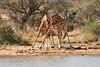 Necking_Reticulated_Giraffe_Loisaba_2018__0038