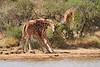 Necking_Reticulated_Giraffe_Loisaba_2018__0021
