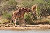 Necking_Reticulated_Giraffe_Loisaba_2018__0020