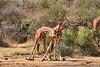 Necking_Reticulated_Giraffe_Loisaba_2018__0011