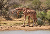 Necking_Reticulated_Giraffe_Loisaba_2018__0006
