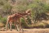 Necking_Reticulated_Giraffe_Loisaba_2018__0018